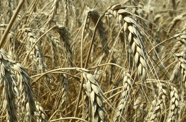 В мире рекордно подешевела пшеница