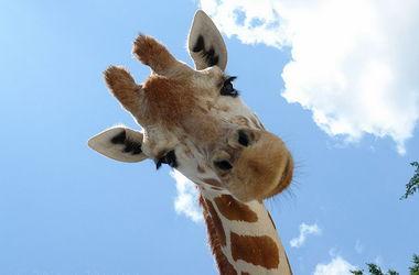 В ЮАР жираф разбил голову о мост