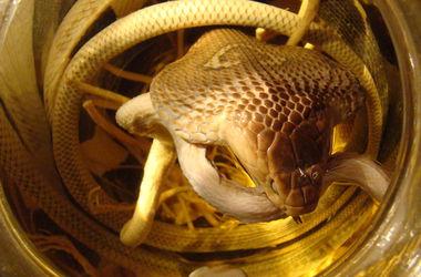В Киеве продают настойку из заспиртованных змей