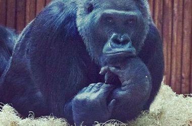 Девушка сосала гориллу фото 334-918