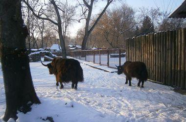 В Киевский зоопарк привезли яков из Львова