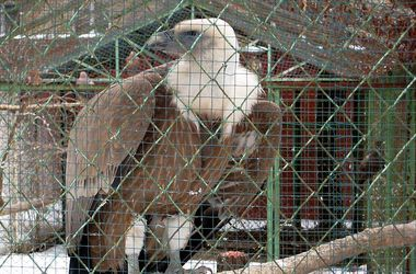 Огромному грифу из Киевского зоопарка нашли невесту во Львове