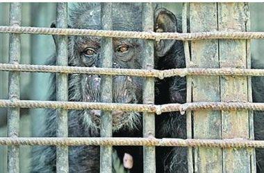 У Київському зоопарку померла найстаріша шимпанзе Міксі