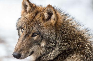 Ученые оспорили происхождение собак от волков