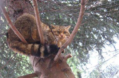 На Прикарпатье выходили лесного кота, попавшего в капкан браконьеров