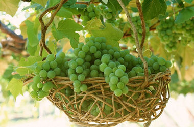 Крыму катастрофически не хватает денег на сады и виноградники