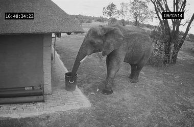 Камера наблюдения засняла как слон собирает мусор
