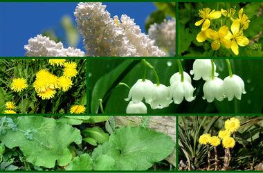 Фитокухня мая: салат из одуванчиков, чай из цветков сирени и сок чистотела