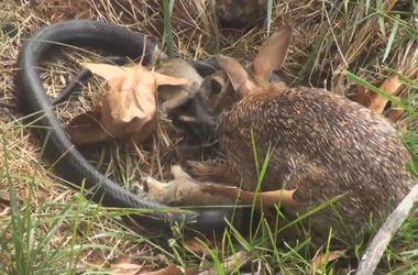 Видеохит: бесстрашная крольчиха спасла своих детей от змеи