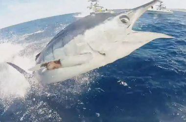 Сумасшедшее видео: огромный марлин едва не проткнул рыбака