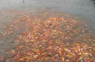 Рыбы устроили битву за еду