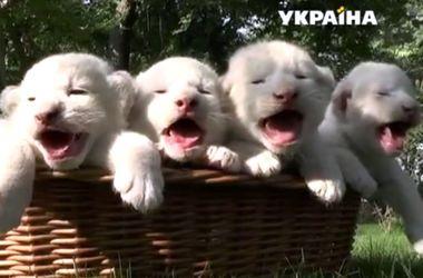 В Крымском парке Тайган родились четверо белых львят