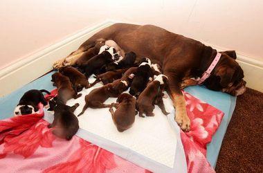 В Британии собака родила шестнадцать щенков