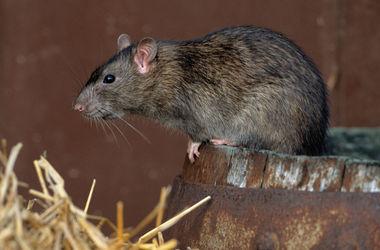 В Индии младенец умер после того, как крыса съела его пальцы и глаз