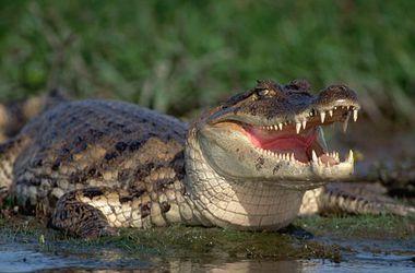 Выползший из канализации аллигатор шокировал жителей Луизианы
