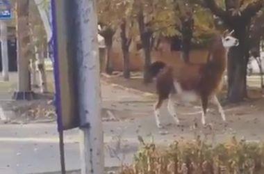 Жители Донецка засняли ламу бегающую по улицам города