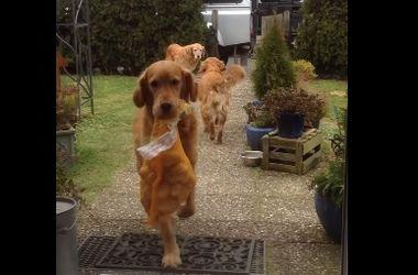 Самые полезные собаки в мире:  бригада сеттеров работает на  разгрузке машины