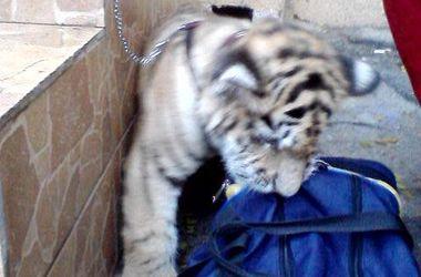 В центре Одессы заметили тигренка