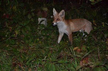 Харьков атакуют дикие лисы
