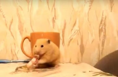Жадный хомяк, который перехитрил кота, взорвал интернет