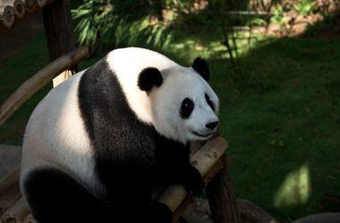 Ученые расшифровали язык больших панд