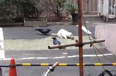 Хитрая ворона-хулиганка обокрала кота
