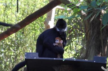 В австралийском Сиднее родилась редкая оранжевая обезьяна