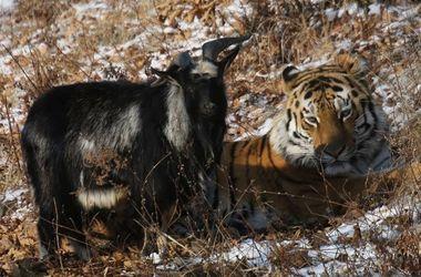 Тигр Амур и козел Тимур снялись в кино