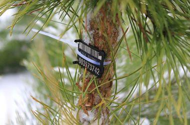 Лесники объяснили, как купить легальную елку к Новому году