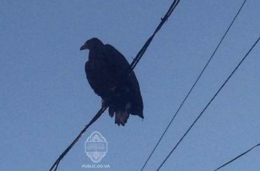 В центре Одессы заметили краснокнижного орлана