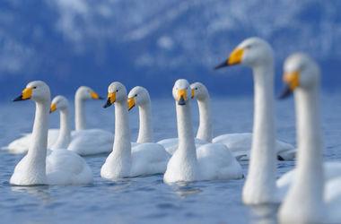 В Винницкой области расстреляли стаю лебедей: люди спасают раненых птиц