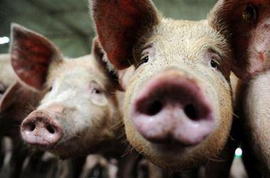 Россия запретила импорт украинской свинины