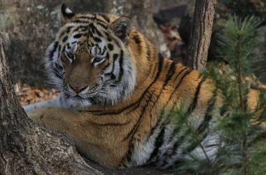 Тигр Амур и козел Тимур начали лазить по деревьям