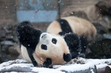 Видеохит: панда пришла в восторг от снежной бури
