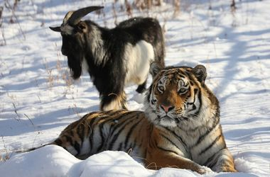 Козла Тимура и тигра Амура разлучили
