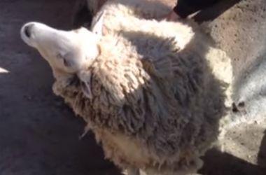 """Овца, которая просит себя почесать, """"взорвала"""" интернет"""