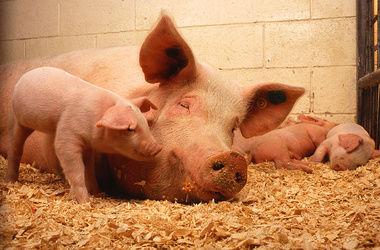 На фоне африканской чумы в Крыму подорожала свинина
