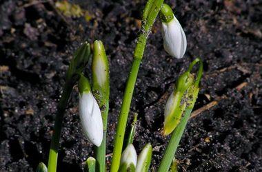 """Киев получил """"тепловой удар"""": во дворах уже цветут подснежники"""