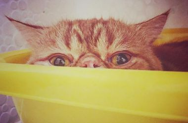 Названы самые популярные породы кошек