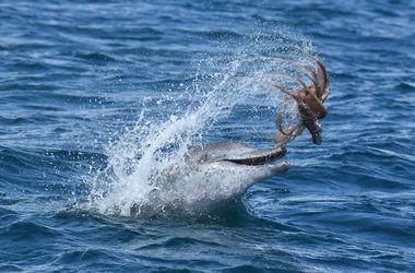 """Дельфин поймал осьминога и устроил ему """"американские горки"""""""