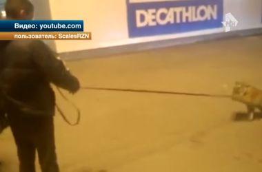 В России пьяный дрессировщик вывел тигра на прогулку по оживленной улице