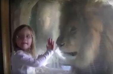 Видеохит: неожиданная реакция льва на поцелуй маленькой девочки