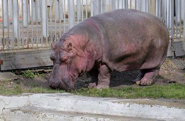 Бегемотиха-ветеран из Киевского зоопарка решила встретить весну на прогулке