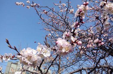Апрельское тепло шокировало киевлян: в столице уже цветут абрикосы и магнолии