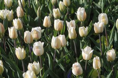 В Киеве пройдет шикарная выставка тюльпанов