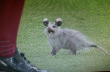 Курьез: опоссум попытался сорвать бейсбольный матч (видео)