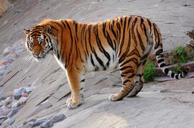 Тигры сбежали из приюта в Нидерландах и прятались в лесу