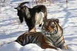 <p><span>Тигр Амур и козел Тимур. Фото: AFP</span></p>