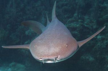 <p>Акула-нянька. Фото: ianimal.ru</p>