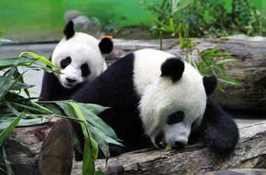 Видеохит: вредные панды мешают убрать вольер (видео)
